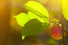 Apple in the morning garden royalty free stock photo
