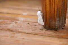 Apple moth on a chair leg stock photography