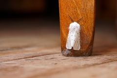 Apple moth on a wooden background royalty free stock image