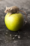 Apple and mouse. Close up on little mouse and apple royalty free stock photos
