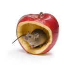 Apple mouse. Little brown mouse sitting a big red apple Royalty Free Stock Images