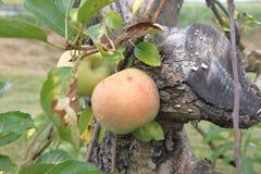 Apple na árvore de maçã imagem de stock