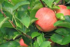 Apple na drzewach obraz royalty free