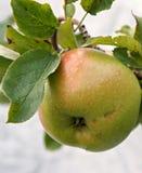Apple na drzewie fotografia royalty free