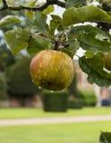 Apple na drzewie zdjęcia royalty free