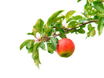 Apple na filial fotografia de stock royalty free
