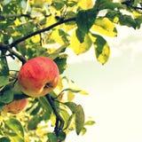 Apple na gałąź Obrazy Royalty Free