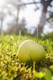Apple near tree Stock Photo