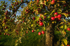 Apple no appletree Imagem de Stock Royalty Free