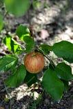 Apple no pomar Fotografia de Stock Royalty Free