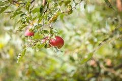 Apple no ramo Imagens de Stock