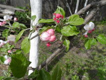 Apple is not fully blossomed. Apple tree is not fully blossomed Royalty Free Stock Photography