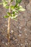 Apple-Obstbaumsämlinge im Boden Lizenzfreie Stockbilder