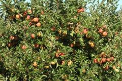 Apple-Obstgarten 02 Lizenzfreie Stockfotografie