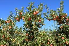 Apple-Obstgarten 02 Stockfoto