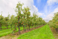 Apple-Obstgarten Lizenzfreies Stockbild