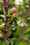 Apple-Obstgarten Stockfotos
