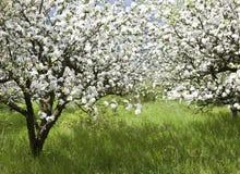 Apple-Obstgarten stockbilder