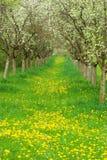 Apple-Obstgarten lizenzfreies stockbild