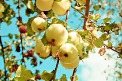 Apple-Obstgarten (Apfelbaum) Lizenzfreies Stockbild