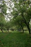 Apple-Obstgarten, der unten durch eine Reihe der Bäume schaut Stockfoto