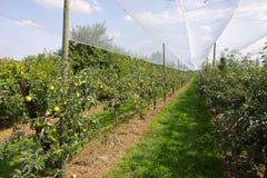 Apple-Obstgarten mit Netzen Lizenzfreies Stockbild