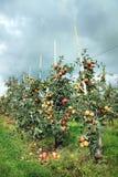 Apple-Obstgarten und bedrohender Himmel Stockfotografie