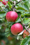 Apple-Obstgarten-Zweig mit Früchten Lizenzfreie Stockbilder