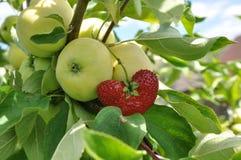 Apple och jordgubbe Arkivbild