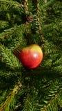 Apple och prydligt träd Arkivbild