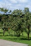 Apple oder Birne? lizenzfreies stockfoto