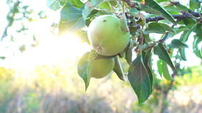 Apple ogród przy światłem słońce zdjęcie wideo