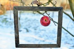 An apple in a old photo frame Stock Image