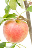 Apple On The Tree Royalty Free Stock Photo
