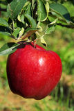 Apple On Tree Stock Photography