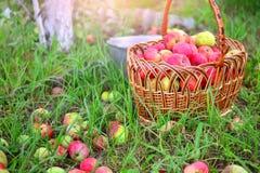 Apple-oogst in een tuin royalty-vrije stock afbeeldingen