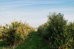 Apple-oogst Hamburg stock foto's
