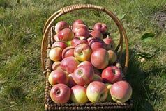 Apple-oogst in het zonlicht Royalty-vrije Stock Fotografie