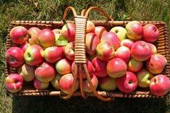 Apple-oogst in het zonlicht Royalty-vrije Stock Afbeelding