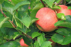 Apple op Bomen royalty-vrije stock afbeelding