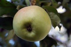 Apple op de appelboom Royalty-vrije Stock Foto