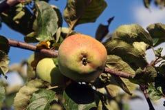 Apple op de appelboom Stock Afbeeldingen