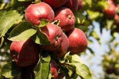 Apple op een boom Royalty-vrije Stock Fotografie