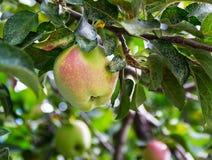 Apple op een boom Stock Afbeeldingen