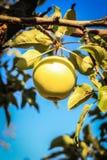 Apple op een boomtak Royalty-vrije Stock Fotografie