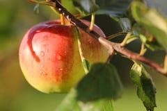 Apple op een tak Royalty-vrije Stock Foto's