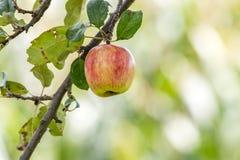 Apple op een takje Royalty-vrije Stock Foto's
