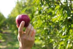 Apple op haar hand Stock Afbeeldingen