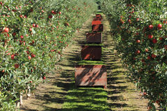 Apple Orchard 02 Stock Photo