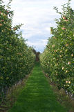 Apple Orchard. With golden delicious apples on the trees Royalty Free Stock Photography